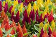 Celosia Mixed Colours 50 Seeds - Cockscomb